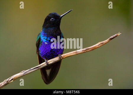 Witstaarthoornkolibrie op takje; Velvet-purple Coronet perched on a twig - Stock Photo