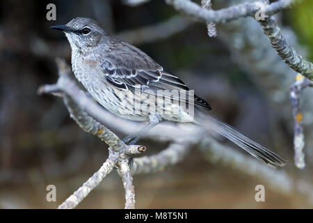 Bahamaspotlijster, Bahama Mockingbird - Stock Photo