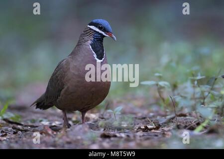 Blauwkopkwartelduif, Blue-headed Quail-Dove, Starnoenas cyanocephala - Stock Photo