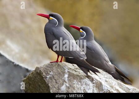 Incastern zittend op rots, Inca Tern perched on a rock - Stock Photo