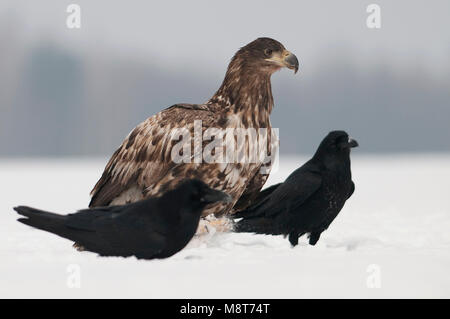 Zeearend tussen raven in de sneeuw; White-tailed eagle and Raven in snow - Stock Photo