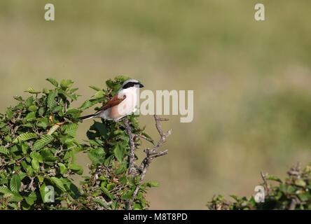 Grauwe Klauwier, Red-backed Shrike, Lanius collurio - Stock Photo