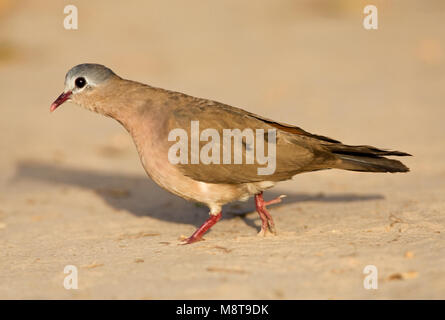 Staalvlekduif, Blue-spotted Wood Dove - Stock Photo