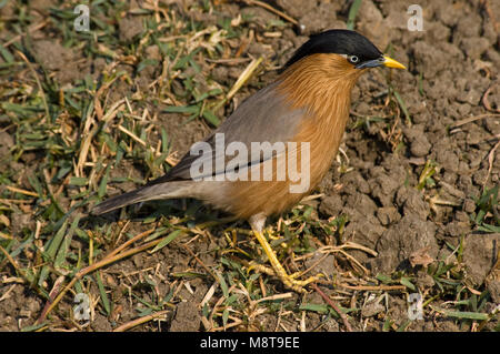 Pagodespreeuw foeragerend op de grond; Brahminy Starling foraging on the ground - Stock Photo