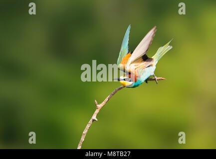 Bijeneter in vlucht; European Bee-eater in flight - Stock Photo