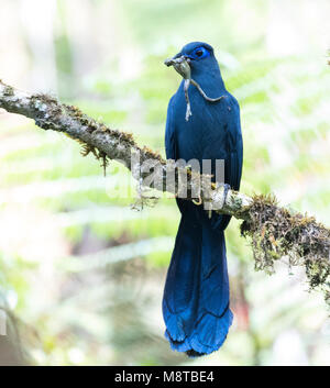 Blauwe Coua zittend in een boom; Blue Coua (Coua caerulea) perched in a tree - Stock Photo
