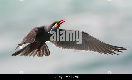 Incastern, Inca Tern, Larosterna inca - Stock Photo