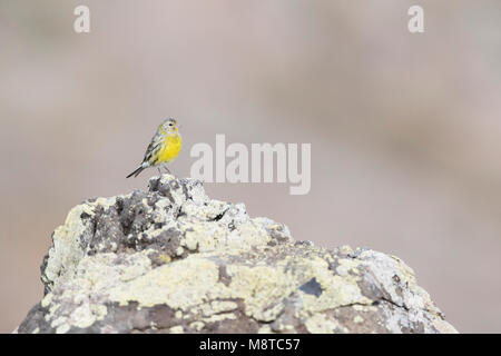 Altantic Canary on Madeira - Stock Photo