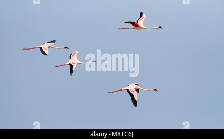 Kleine Flamingo's in vlucht; Lesser Flamingo's (Phoeniconaias minor) in flight - Stock Photo
