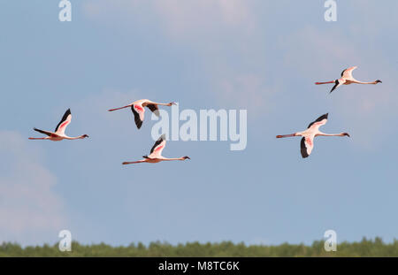 Kleine Flamingo's in vlucht; Lesser Flamingo's (Phoeniconaias minor) in flight - Stock Photo