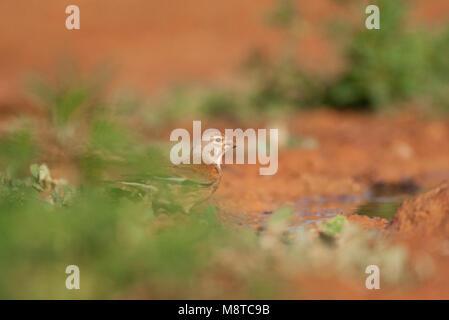 Mannetje Kneu; Male Common Linnet (Carduelis cannabina) - Stock Photo