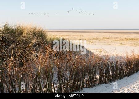 Helmgras met Waddenzee in achtergrond; Marram Grass with Wadden Sea in background - Stock Photo