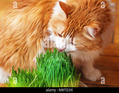 Pretty adult red cat eats sprouted grass oats - Stock Photo