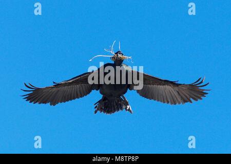 Kuifaalscholver vliegend met nestmateriaal; European Shag flying with nesting material - Stock Photo