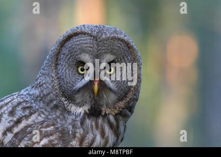 Laplanduil close-up; Great Grey Owl close-up - Stock Photo