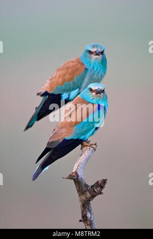 Scharrelaar op de uitkijk; European Roller on perch - Stock Photo