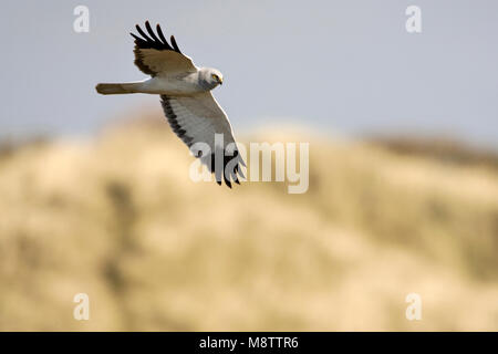 Mannetje Blauwe Kiekendief in de vlucht; Male Hen Harrier in flight - Stock Photo
