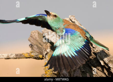 Scharrelaar wegvliegend van zijn nest; European Roller (Coracias garrulus) flying off from its nest - Stock Photo