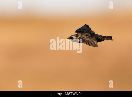 Spreeuw, Common Starling, Sturnus vulgaris - Stock Photo