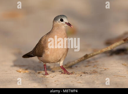 Staalvlekduif, Blue-spotted Wood Dove, Turtur afer - Stock Photo