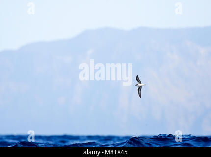 Sterk bedreigde Freira vliegend boven de Atlantische Oceaan met Madeira op de achtergrond; Endangered Zino's Petrel - Stock Photo