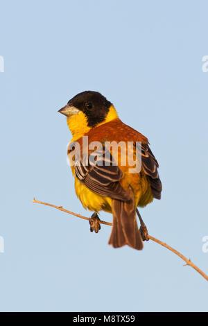 Zwartkopgors, Black-headed Bunting, Emberiza melanocephala - Stock Photo