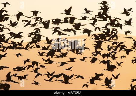 Glossy Ibis (Plegadis falcinellus) in flight over the Ebro delta, Spain - Stock Photo