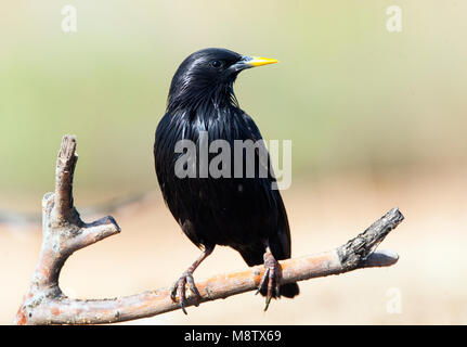 Adult Spotless Starling perched - Stock Photo