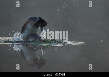 Parende Futen; Mating Great Crested Grebes - Stock Photo