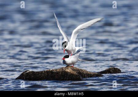 Noordse Stern, Arctic Tern, Sterna paradisaea - Stock Photo