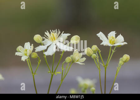 'Paul Farges, Summer Snow' Old man's beard, Skogsklematis (Clematis vitalba) - Stock Photo