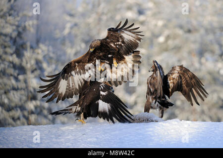 Steenarend, Golden Eagle, Aquila chrysaetos