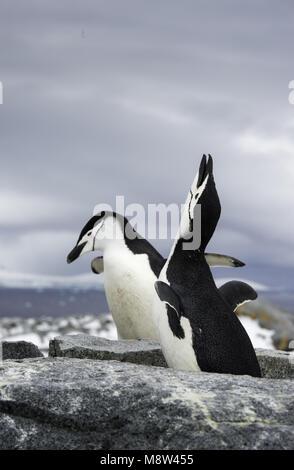 Chinstrap Penguin, Keelbandpinguin, Pygoscelis antarcticus - Stock Photo
