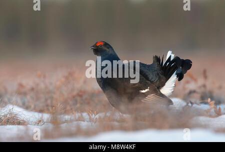Mannetje Korhoen; Male Black Grouse - Stock Photo