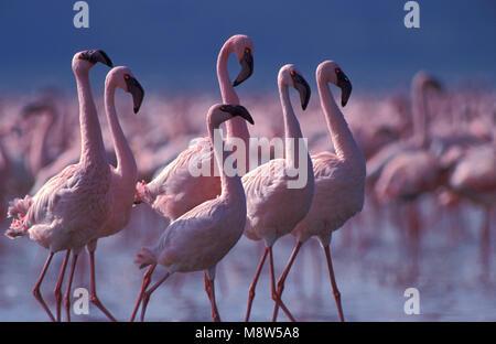 Lesser Flamingo; Kleine Flamingo - Stock Photo