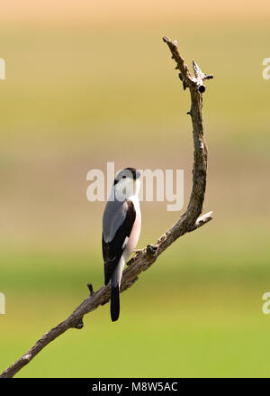 Kleine Klapekster, Lesser Grey Shrike, Lanius minor - Stock Photo
