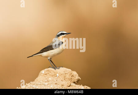 Tapuit, Northern Wheatear, Oenanthe oenanthe - Stock Photo