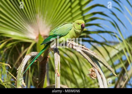 Halsbandparkiet, Rose-ringed Parakeet, Psittacula krameri - Stock Photo