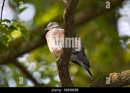 Oriental Turtle-Dove adult perched in a tree; Oosterse Tortel volwassen zittend in een boom - Stock Photo