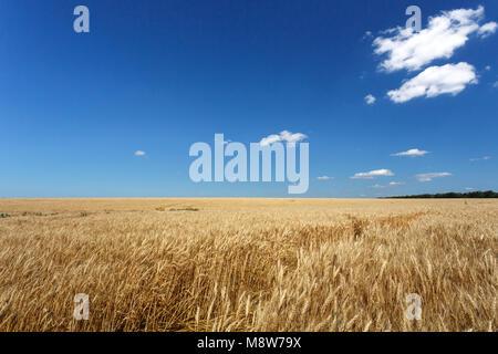 Golden wheat field under blue sky, sunset - Stock Photo