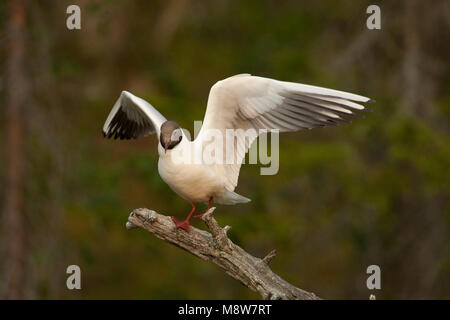 Volwassen Kokmeeuw op tak; Adult summer Black-headed Gull on branch - Stock Photo