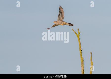 Koekoek vliegend; Common Cuckoo flying - Stock Photo