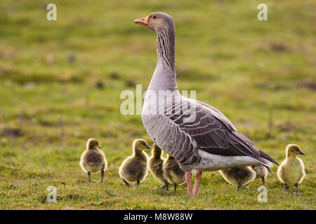 Grauwe Gans met jongen, Grey-lag Goose with young Stock Photo