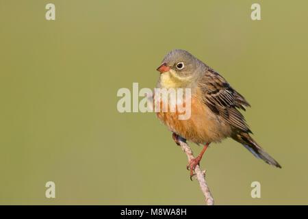 Ortolan Bunting - Ortolan - Emberiza hortulana, Kazakhstan, adult male - Stock Photo