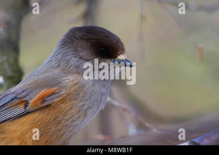 Taigagaai, Siberian Jay, Perisoreus infaustus ssp. infaustus, Norway, adult - Stock Photo