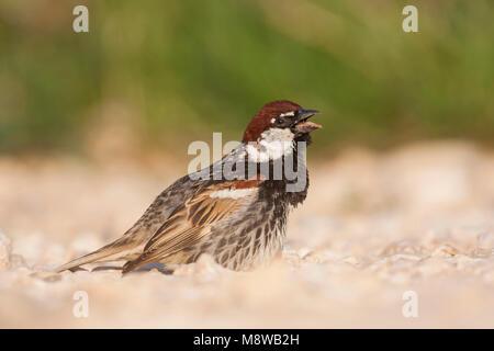 Spanish Sparrow - Weidensperling - Passer hispaniolensis ssp. hispaniolensis, adult male, Croatia - Stock Photo
