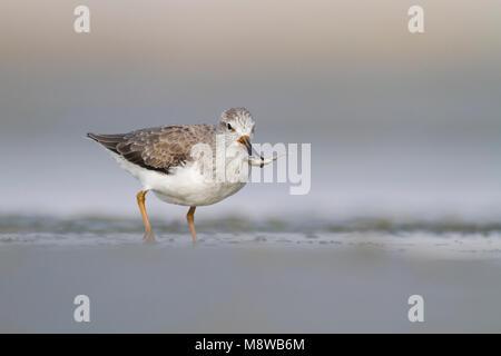 Terek Sandpiper - Terekwasserläufer - Xenus cinereus, Oman, nonbreeding - Stock Photo