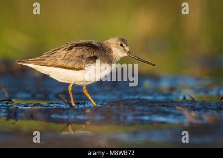 Terek Sandpiper - Terekwasserläufer - Xenus cinereus, Oman - Stock Photo