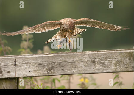 Torenvalk vrouwtje landend op hek met muis; Common Kestrel female landing on gate with mouse - Stock Photo