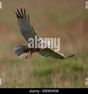 Bruine kiekendief in vlucht; Western Marsh Harrier in flight - Stock Photo